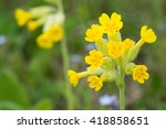 Field Of Yellow Cowslip Flower...