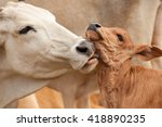 Cattle In Nature