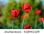 Amazing Nature Of Red Tulips...