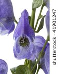 Small photo of Aconitum napellus, Monkshood, poisonous plant