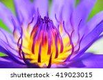 Violet Lotus Blooming In The...
