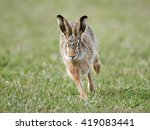 Stock photo european hare lepus europaeus running in its natural habitat 419083441