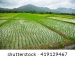 Green Field Of Rice Plant With...