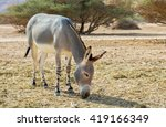Small photo of Somali wild donkey (Equus africanus) is forefather of all domestic asses. This species is extremely rare both in nature and in captivity, it was acclimatized in nature reserve ear Eilat, Israel