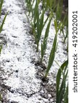 Small photo of Closeup of garlic balk sprinkled with chalk