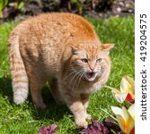 Hissing Red Colored Cat In A...