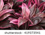 Small photo of Tiplant's bright red leaves(Cordyline fruticosa)