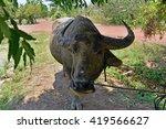 thailand buffalo.water buffalo... | Shutterstock . vector #419566627