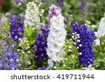 Larkspur Flowers  Delphinium...