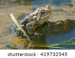 Small photo of American Toad sitting in the shallow water.