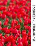 red tulip field in rows in... | Shutterstock . vector #419855029