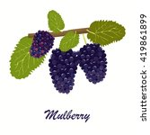 vector illustration. mulberry....