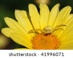 Close Up Of Crab Spider On...