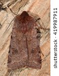 Small photo of Red chestnut moth (Cerastis rubricosa). British insect in the family Noctuidae, the largest British family moths in the order Lepidoptera
