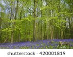 A Woodland In Spring With...