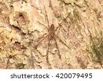 Small photo of Long-legged Wandering Spider (Acantheis sp)