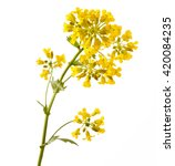 Stock photo flowering barbarea vulgaris or yellow rocket plant cruciferae brassicaceae close up isolated 420084235