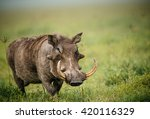 Common Warthog In The Grass