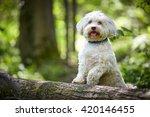 White Havanese Dog Standing On...