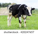 black and white calf standing... | Shutterstock . vector #420247657
