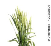 Green Wheat Isolated On White...