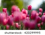 Flower. Amazing Pink Tulips An...