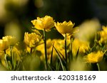 Stock photo amazing view of colorful yellow tulip flowering in the garden and green grass landscape under 420318169