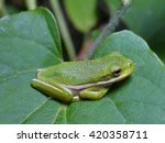 small green frog on the green...   Shutterstock . vector #420358711