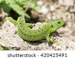 green  lacerta viridis  lacerta ... | Shutterstock . vector #420425491