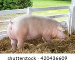 large white swine  yorkshire... | Shutterstock . vector #420436609