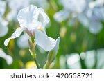 Beautiful Flowers Of White Iris