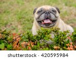 Stock photo happy pug dog sitting behind shrub 420595984