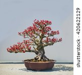 Small photo of Red Banzai Plant