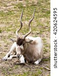 Small photo of Adax, Addax nasomaculatus, a desert antelope