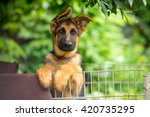 German Shepherd Puppy Posing...