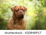 Dogue De Bordeaux Dog Outdoors...