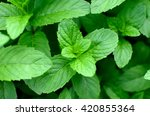 mint leaves. green background.  | Shutterstock . vector #420855364