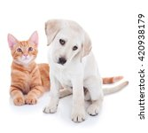 Stock photo pet animal puppy dog and kitten cat together isolated on white 420938179