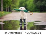 Stock photo golden retriever dog in rain boots holding an umbrella 420962191