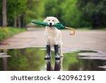 Golden Retriever Dog In Rain...