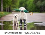 Stock photo golden retriever dog and puppy in a puddle with umbrella 421092781