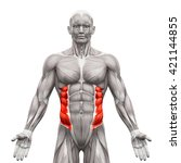 external oblique   anatomy... | Shutterstock . vector #421144855