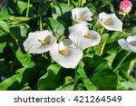 zantedeschia aethiopica white... | Shutterstock . vector #421264549