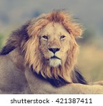 Close Lion In National Park Of...