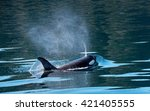 An Orca Surfaces And Exhales...