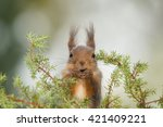Red Squirrel Standing Behind...
