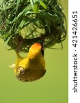 Small photo of Southern masked weaver constructing nest over water. Pilanesberg National Park, South Africa.