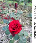 Red roses on the flowerbed in the garden - stock photo