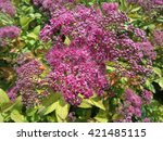 Blooming pink spirea bush - stock photo