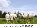Sheeps In Nature Green Meadow